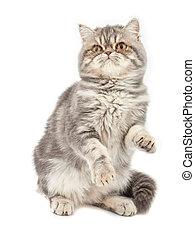 Exotic short-haired kitten.