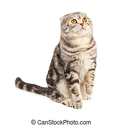 Scottish fold cat - Portrait cat, scottish fold sort on...