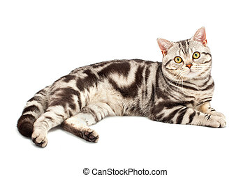 American Shorthair cat on white