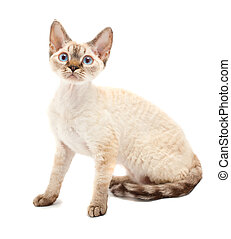 Cat Devon Rex on white background