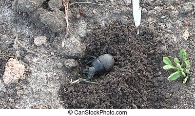 beetle - Dung beetles live in many different habitats,...