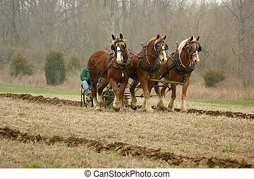 Belgian drafthorses plowing - 3-up of Belgian draft horses...