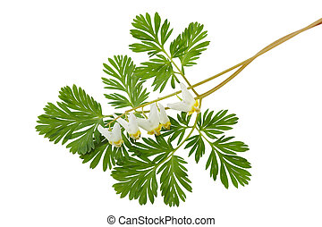 Dutchmans Breeches Dicentra cucullaria wild flowers isolated...
