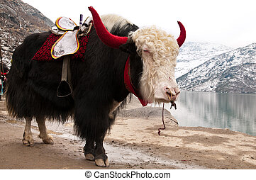 Himalayan Yak - Closeup of a beautiful giant Yak decorated...