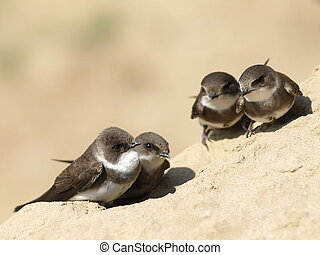 Swallows Sand Martin, riparia - Beautiful swallows Sand...