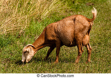 Billy goat - Brown billy goat grazing next to cornfield in...