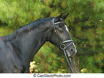 Portrait of a black Hanoverian mare