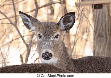 Portrait of a White tail deer