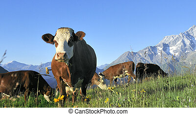 Alpine cow - Cow, farm animal in the french alps, Tarine...