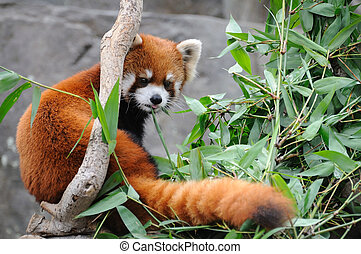 Red panda - Close up of red panda