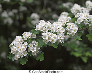 Hawthorne Blossom - Hwthorne or May blossom a sign Spring...