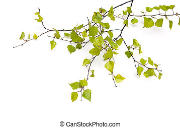Spring Birch isolated on white