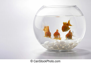 gold fish  - Four Goldfishes looking from fish bowl