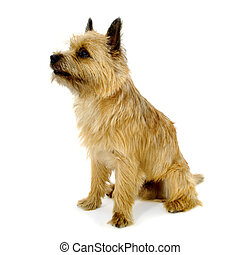 Sitting Cairn Terrier dog - Sweet sad dog is sitting on a...