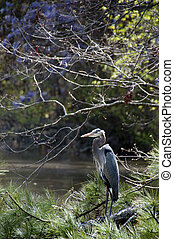Blue Heron - A large Blue Heron bird roosting on a tree...