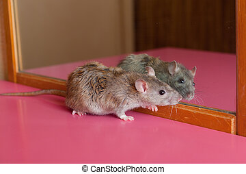acquaintance - Brown house rat and its reflection in a...