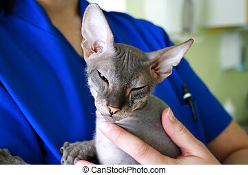 sphinx cat  sitting on the veterinary hands