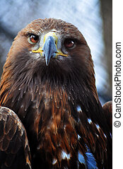 Golden Eagle - Beautiful grown golden eagle, close up...