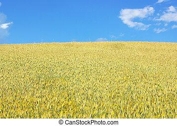 Yellow  wheat field.