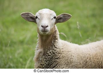 Ei, ovelha
