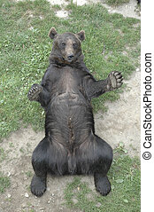 brown bear lying on his back
