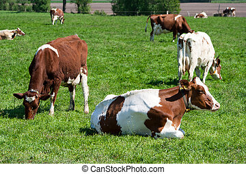 Cows - Brown White Cows On A Farmland