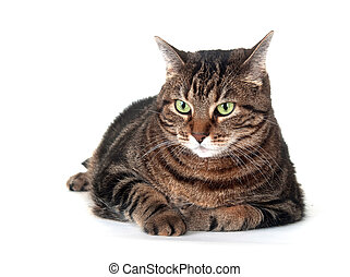 Cute adult tabby cat - Large adult tabby cat laying down on...