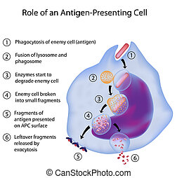 APC in immune response - Process of presenting antigen by an...