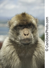 Eye contact - Portrait of a Gibraltar Barbary ape looking...