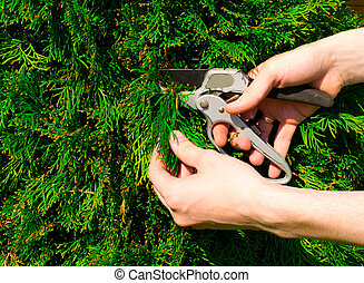 Hands cutting a bush secateurs