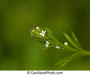 Cleavers - White flowers and green foliage of Cleavers