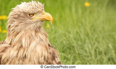white tailed eagle head