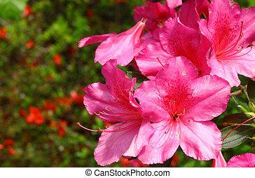Um, Grupo, jovem, Novo, primavera, Cor-de-rosa, azalias,...