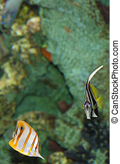 Butterfly Fish Under the Sea - Underwater scene features an...