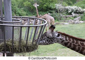 Giraffe eating hay at the zoo. - Oblivious to the camera...