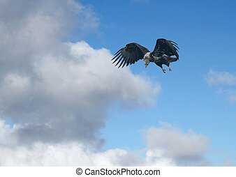 Young eagle diving with clouds - Immature bald eagle diving...