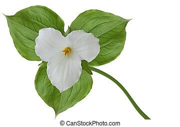 Trillium grandiflorum - Large-flowered Trillium grandiflorum...
