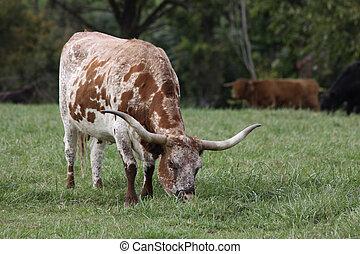 longhorn, Tejas, ganado