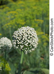 Onion flower - photo of the Onion flower