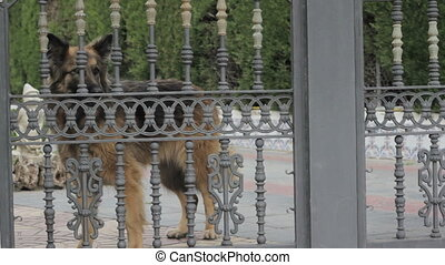 Dog Barking - German Shepherd Dog barking behind a fence.