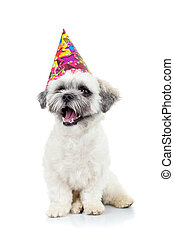 party puppy bichon havanese sitting on a white background