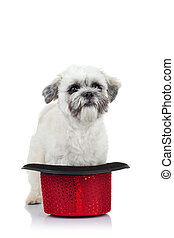 puppy in a hat - cute little bichon havanese puppy standing...