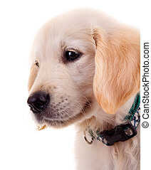 sad little golden retriever puppy - picture of a sad little...