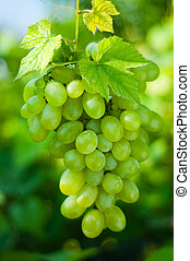 Green grapes close-up from a vineyard
