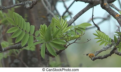 Ashberry - Spring mountain ash
