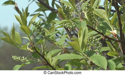 Bird cherry tree. - Spring bird cherry tree branches with...