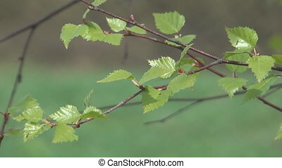 Birch branch. - The branch of a birch with leaves shakes on...