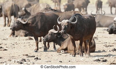 African buffalos - Herd of African or Cape buffalos...
