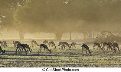 Springbok antelopes Antidorcas marsupialis, grazing in early...