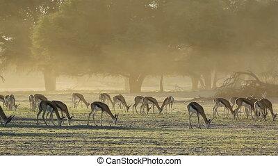 Springbok antelopes (Antidorcas marsupialis), grazing in...